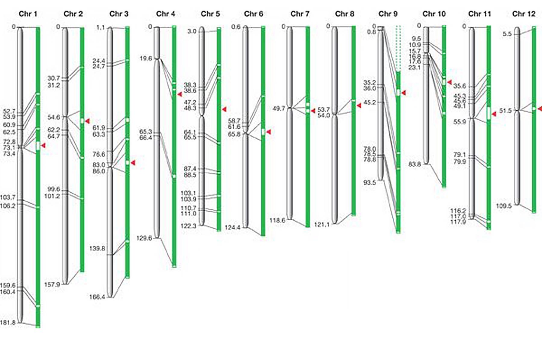 rice chromosomes map
