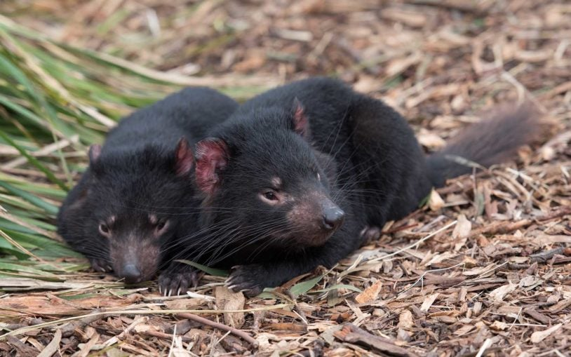 Cold Spring Harbor Laboratory researchers race against time to save Tasmanian devils