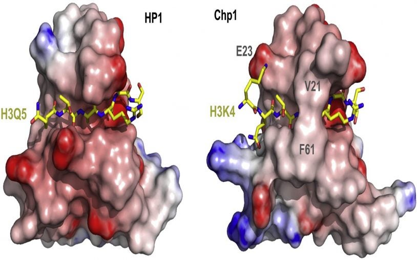 HP1 and Chp1 cocrystal structures