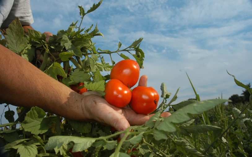 lippman tomato high-yield agriculture