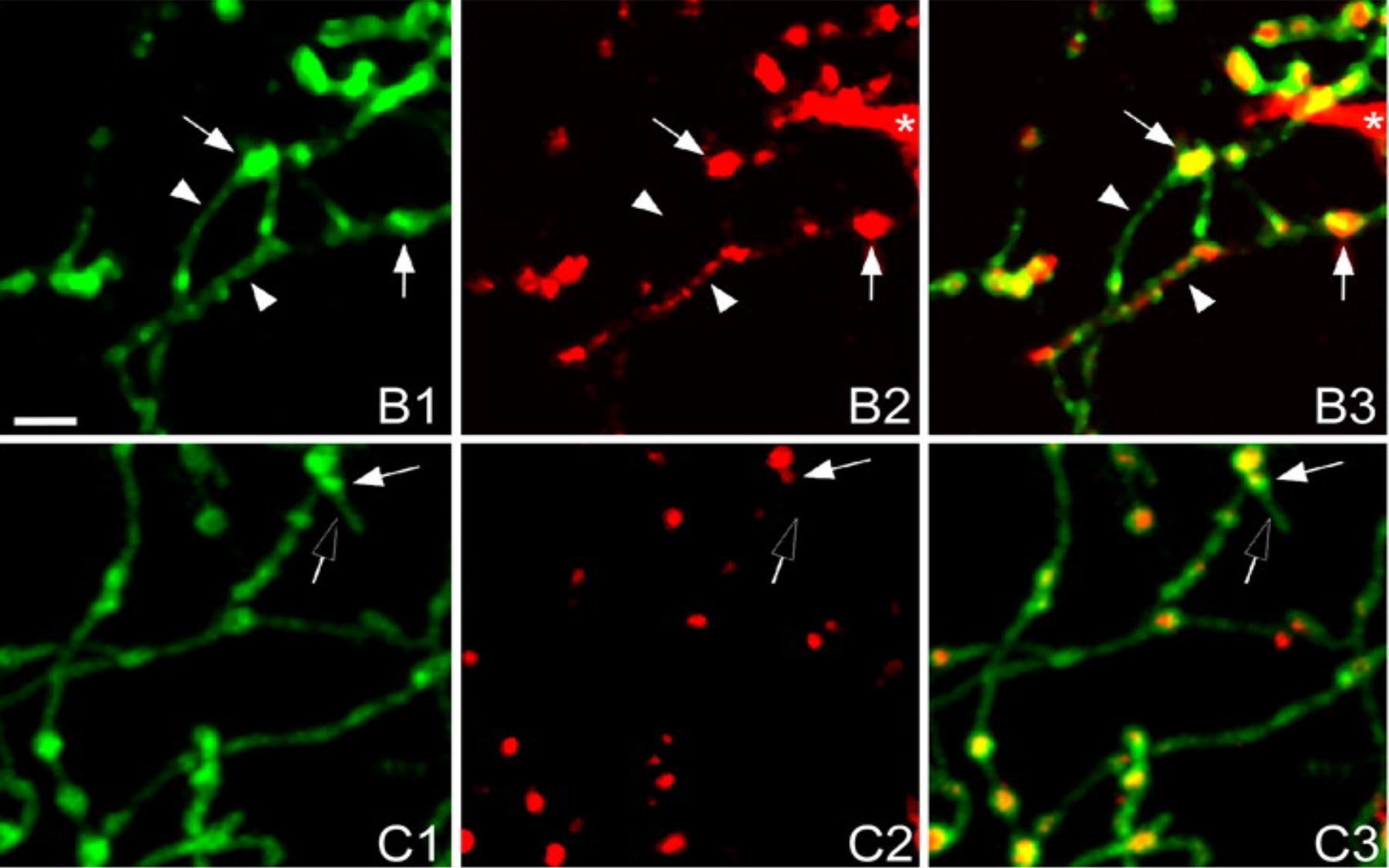 neurexins