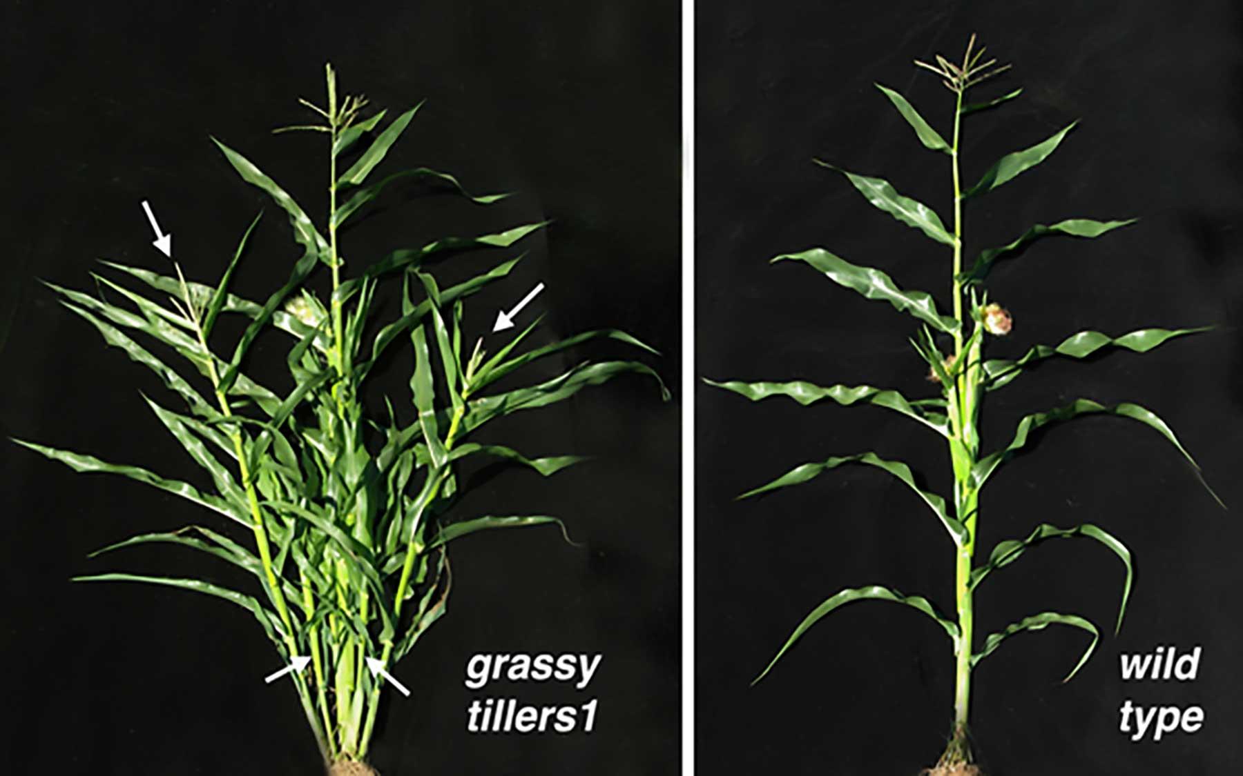 grassy tillers1
