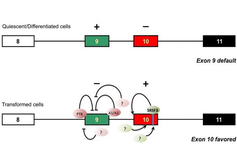 Study reveals details of alternative splicing circuitry that promotes cancer's Warburg effect