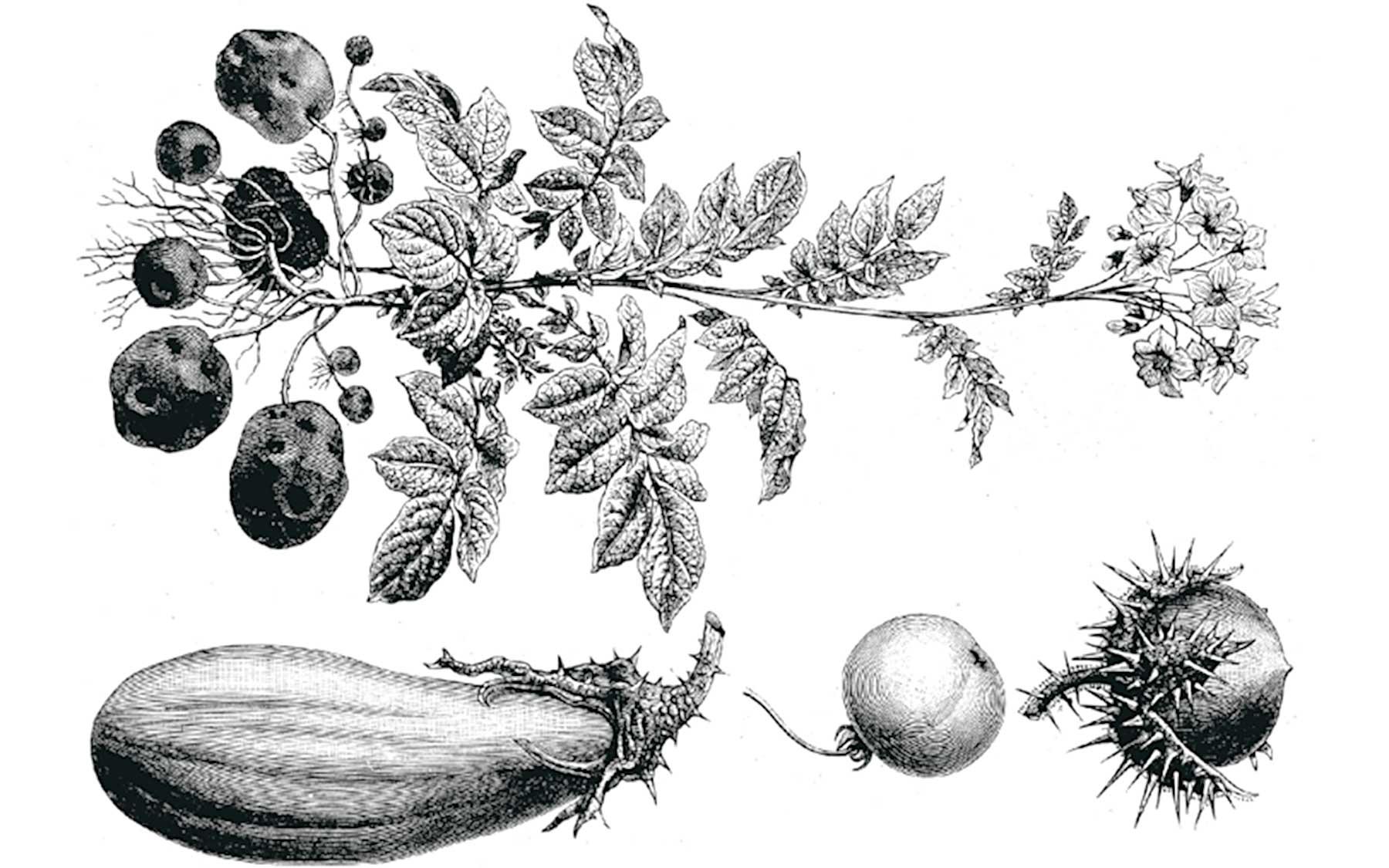 asterid plants
