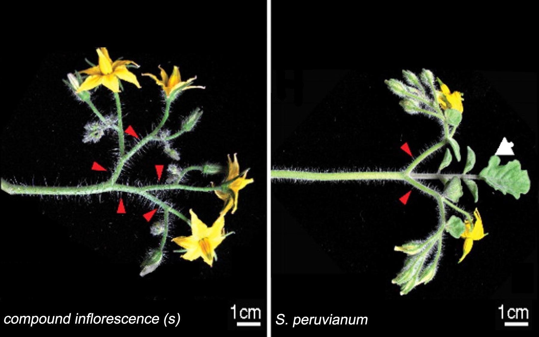 mutant tomato plant branches
