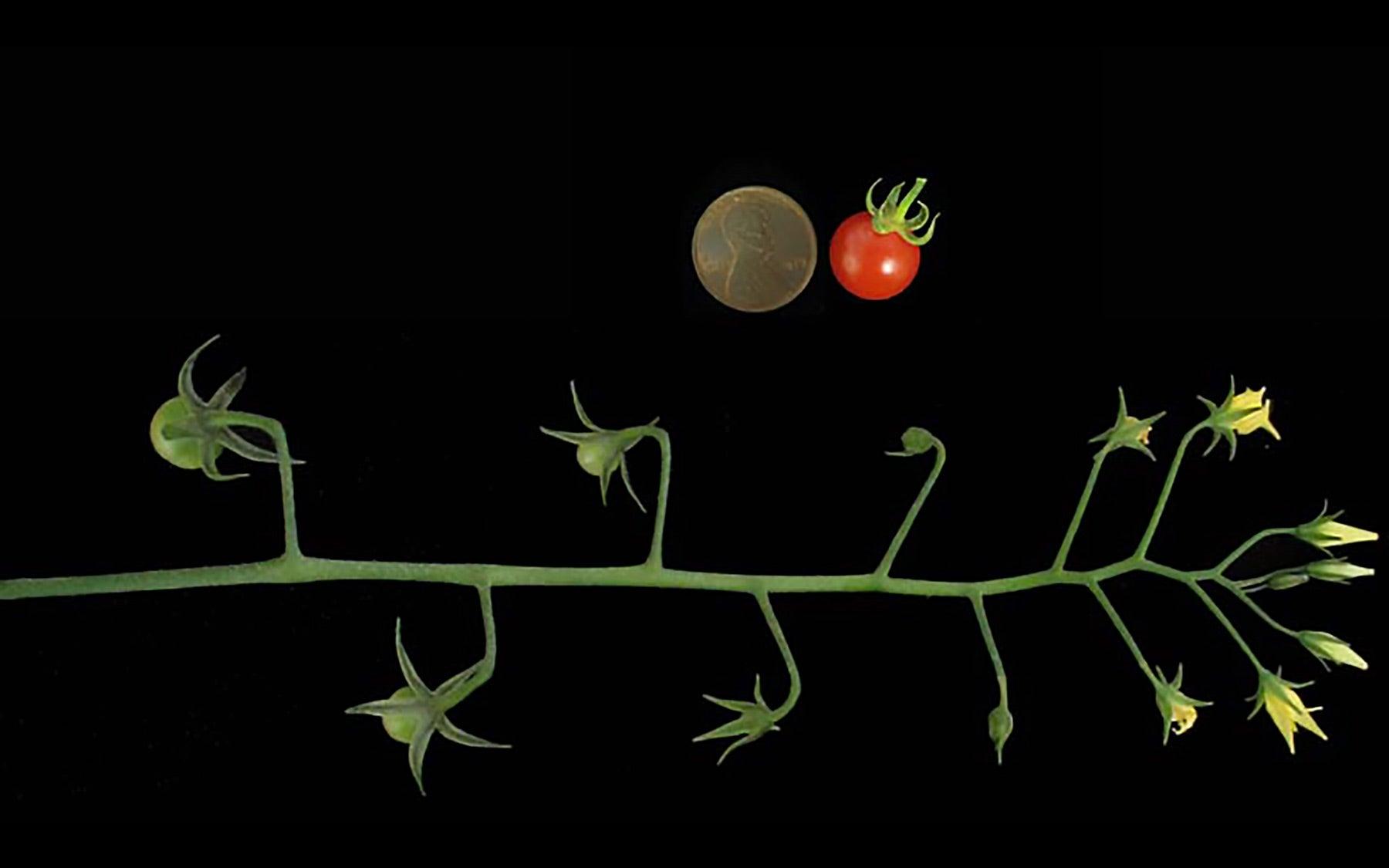 tomato wild ancestor
