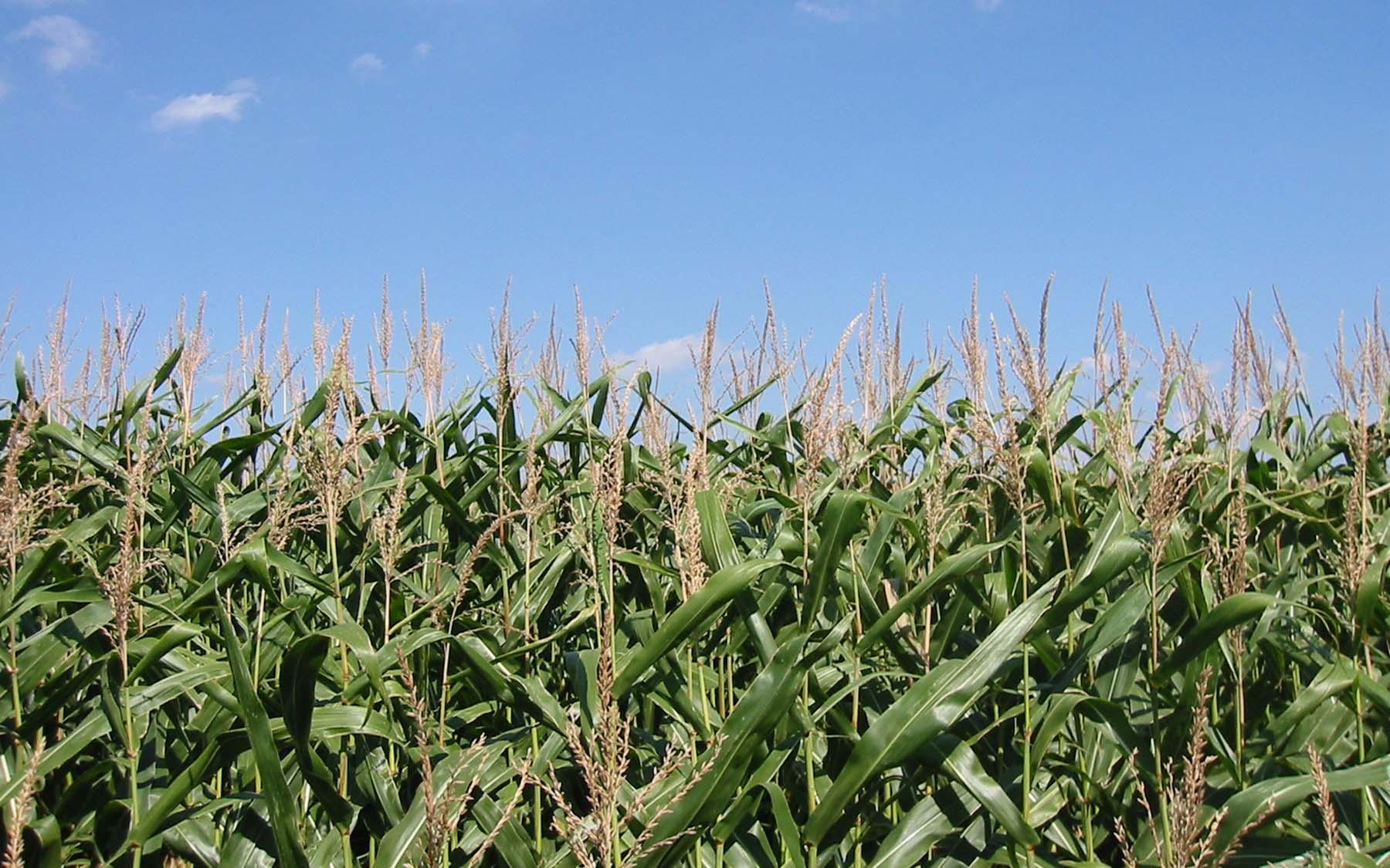 Maize field crops