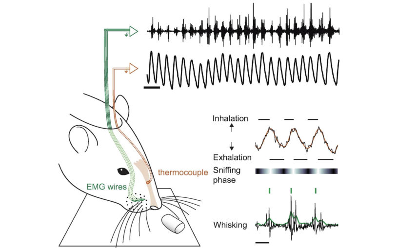 Neuroscience research brief: Rats take high-speed multisensory snapshots