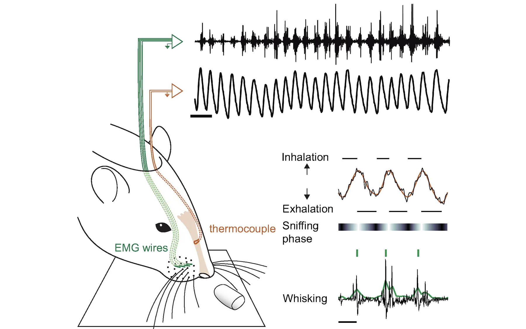 Kepecs rat sensory