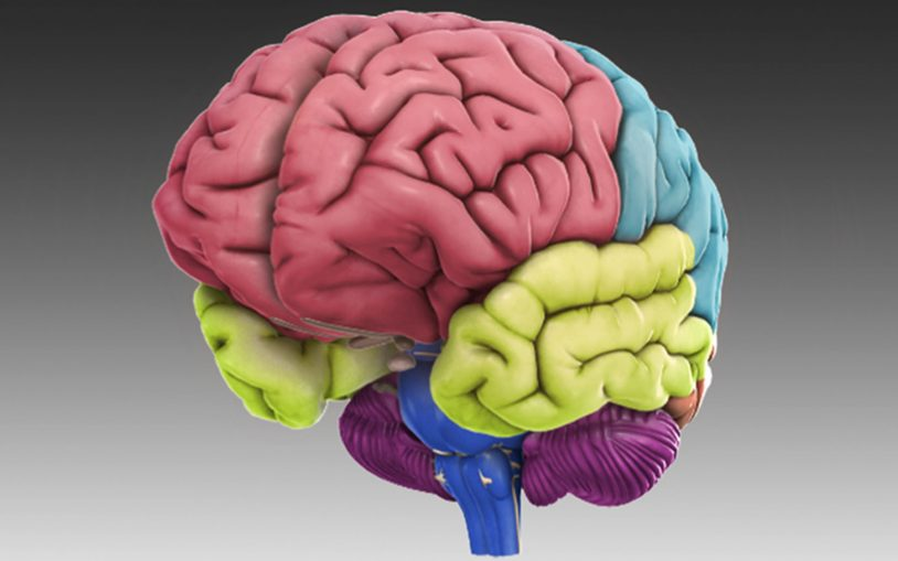 Celebrating Brain Awareness Week with DNALC's <em>3D Brain</em>–revolutionizing education in the classroom and the doctor's office