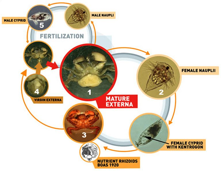parasitic life cycle