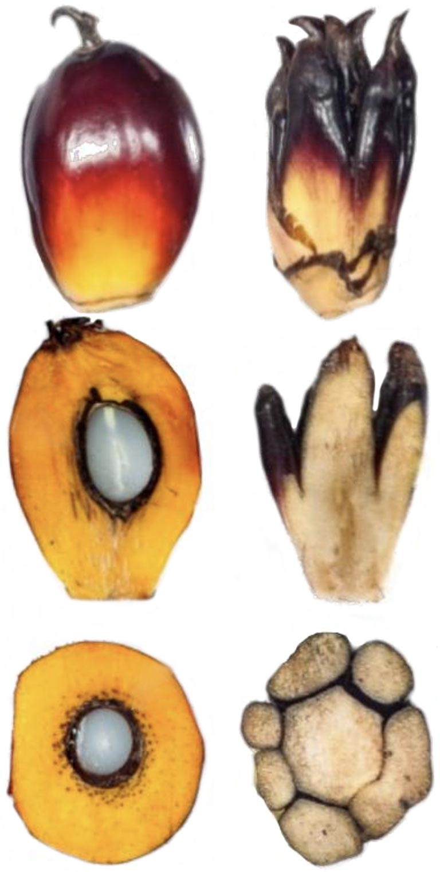 palm fruit karma