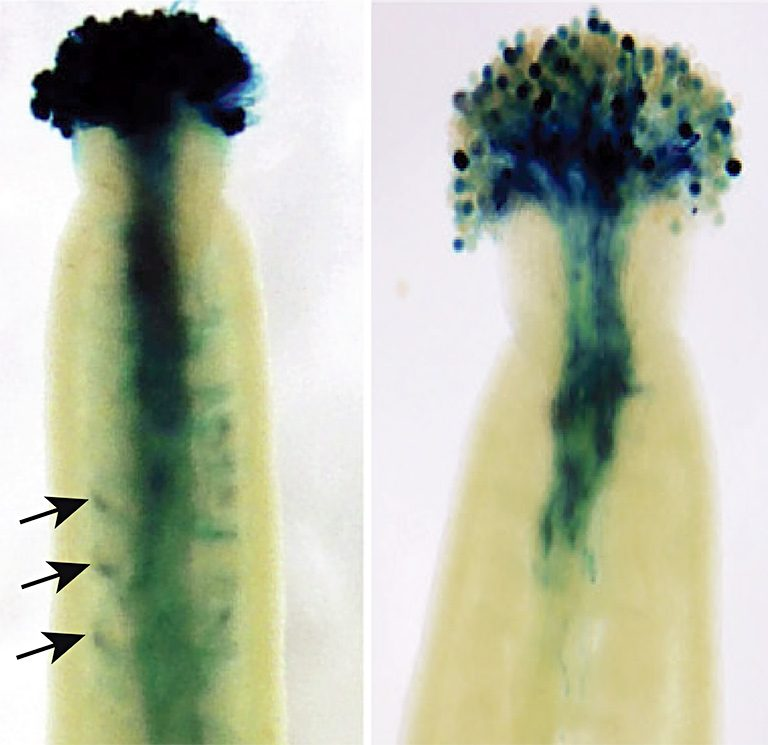 Arabidopsis gene mutation