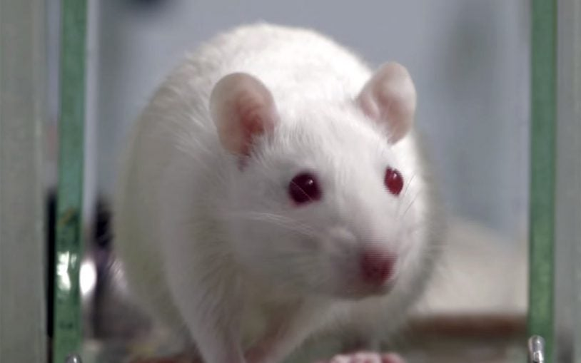 A new way to fear: Lady lab rats raise important questions for behavioral research