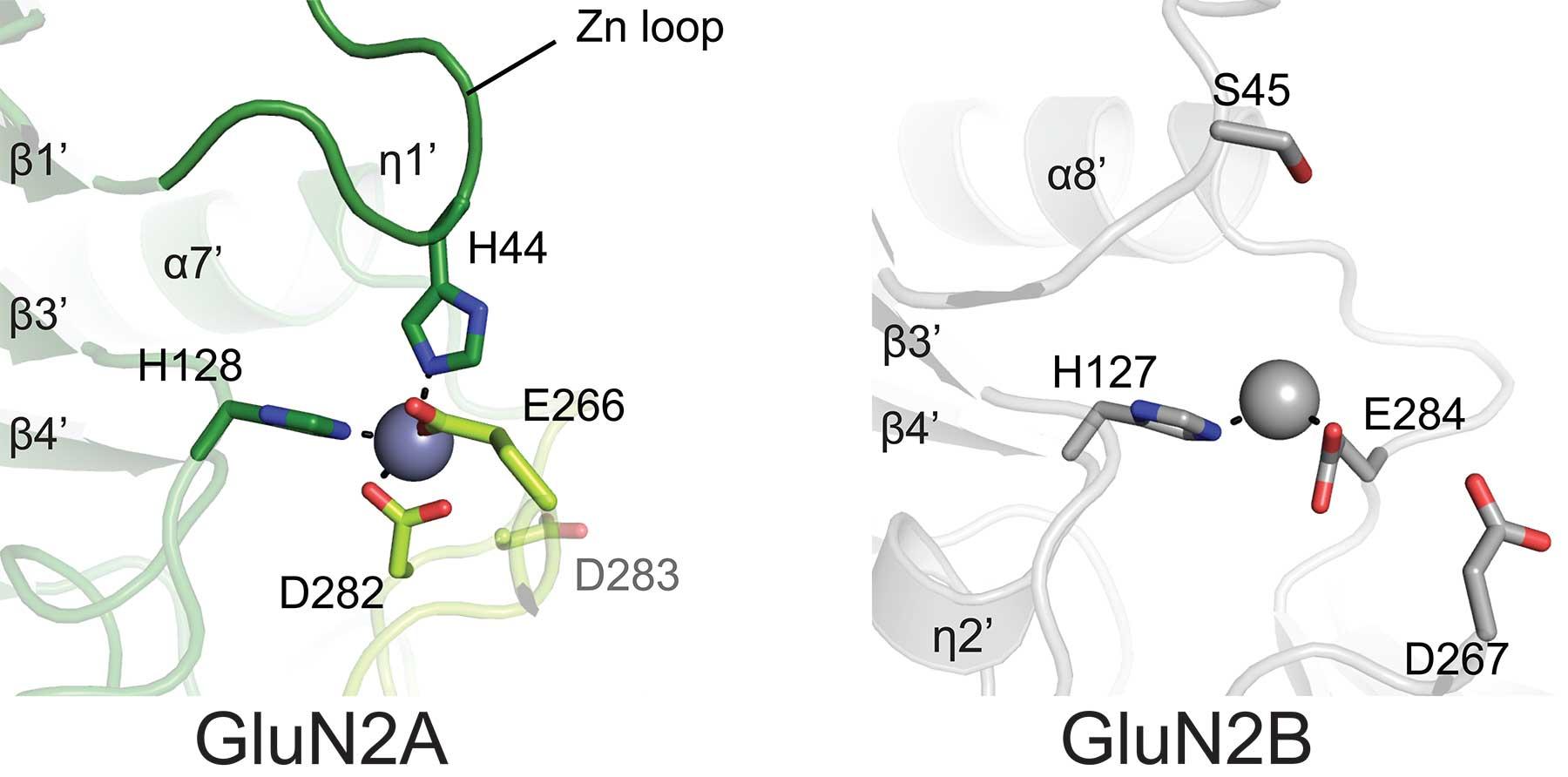 Zinc is an important inhibitory regulator of NMDA activity