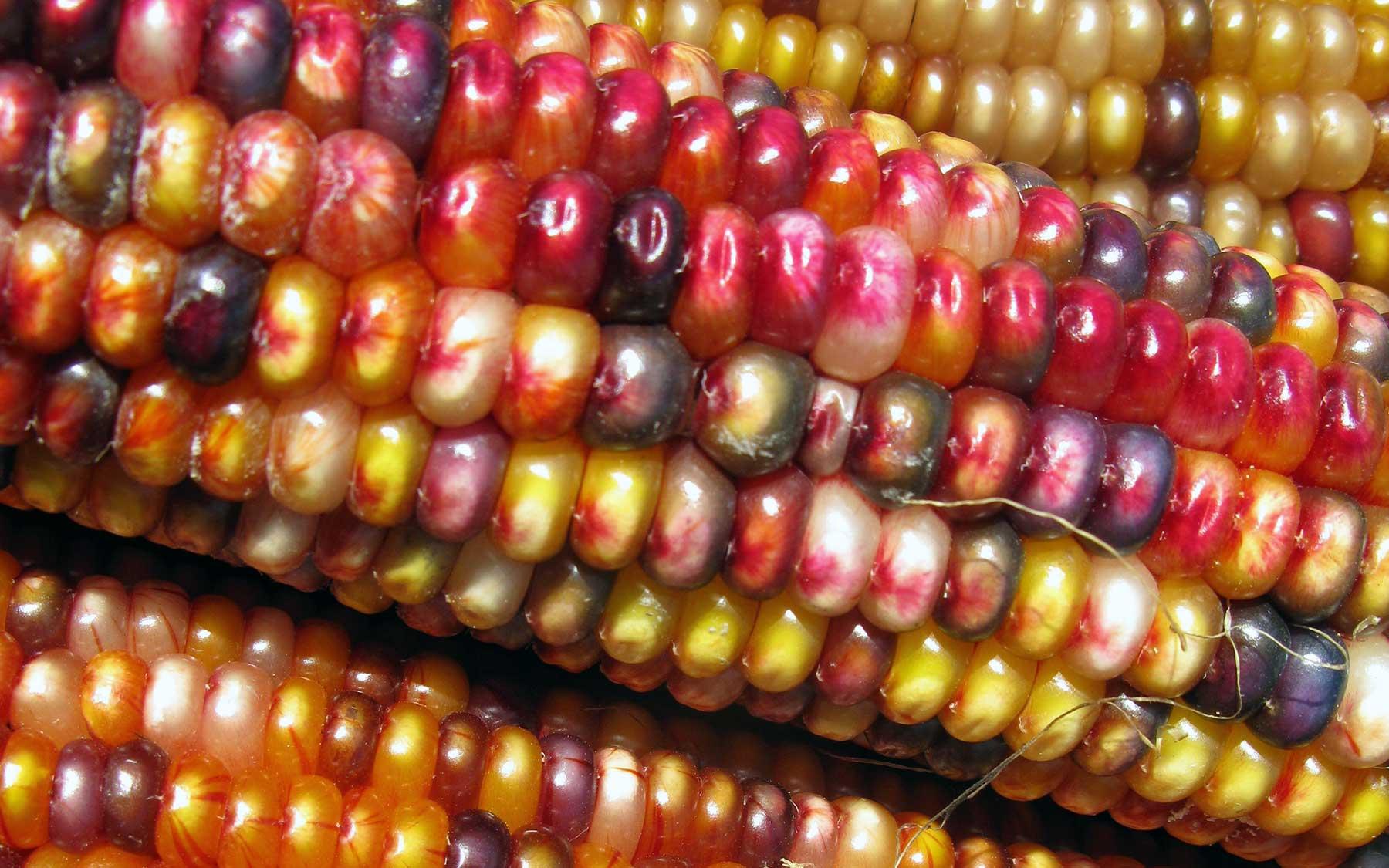 transposon streaked corn