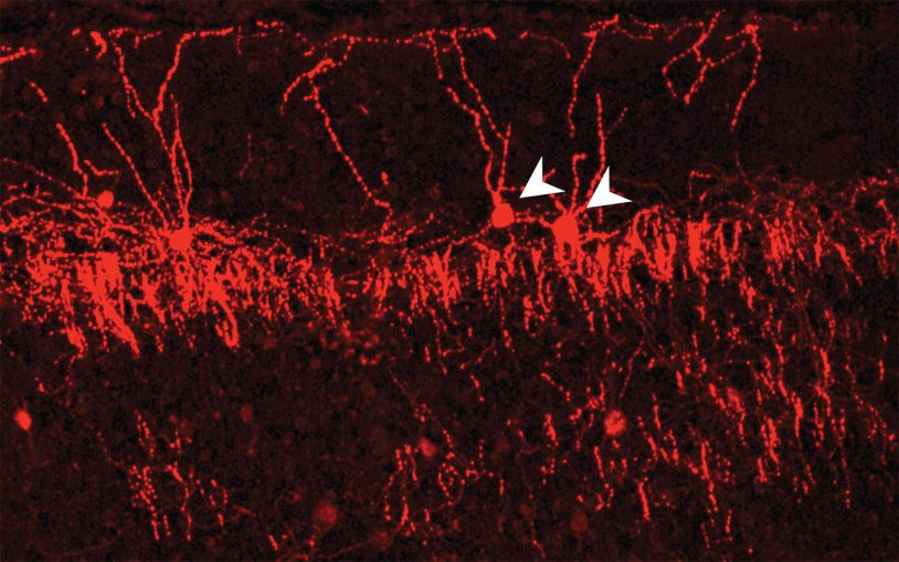 "Research reveals ""exquisite selectivity"" of neuronal wiring in the cerebral cortex"