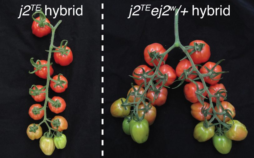 Fine-tuning dosage of mutant genes unleashes long-trapped yield potential in tomato plants