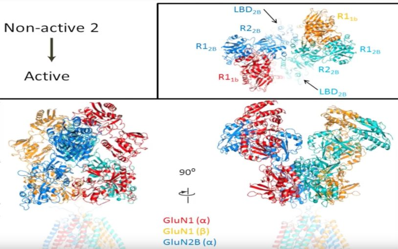 First structural views of the NMDA receptor in action will aid drug development