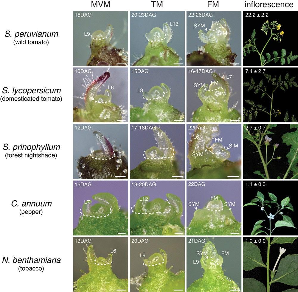 solenaceae family