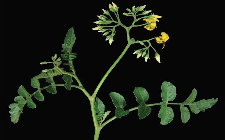 wild tomato plant