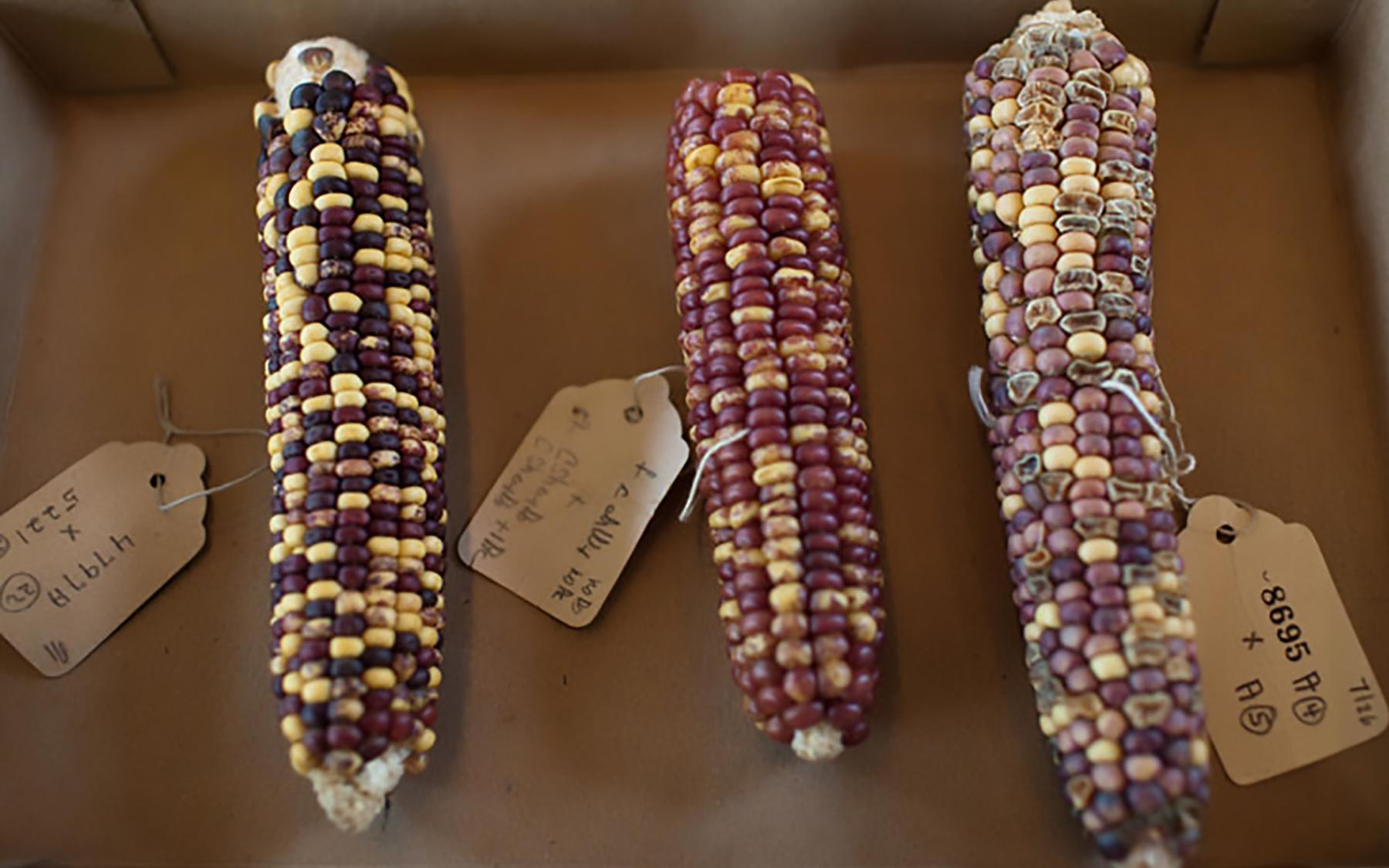 McClintocks transposon corn