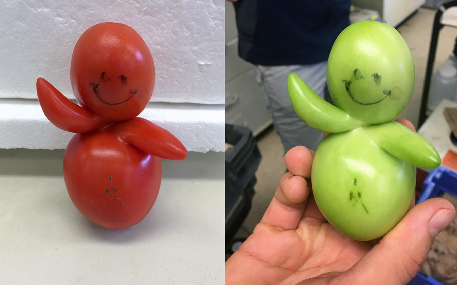 Tomato baby