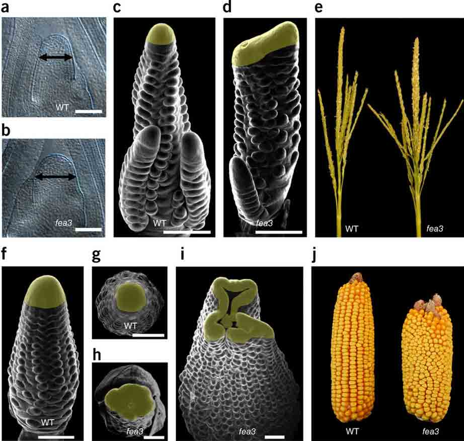 maize ears FEA3 mutations