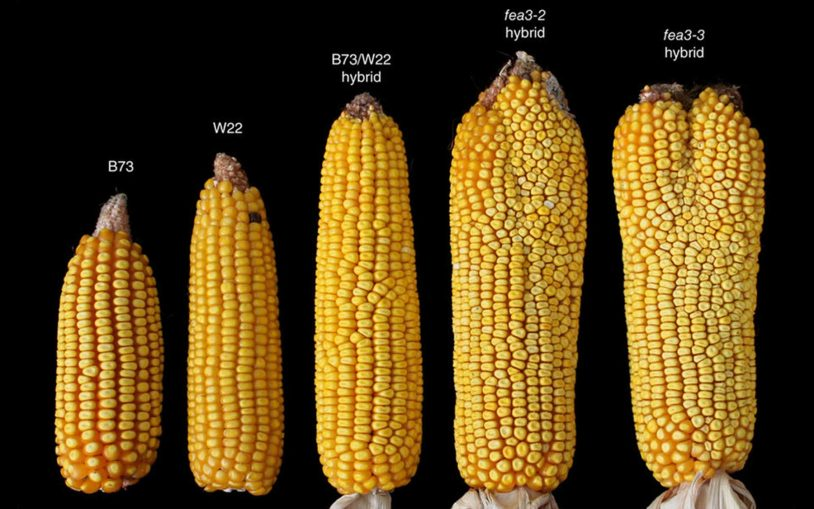 Discovery of new stem cell pathway indicates route to much higher yields in maize, staple crops