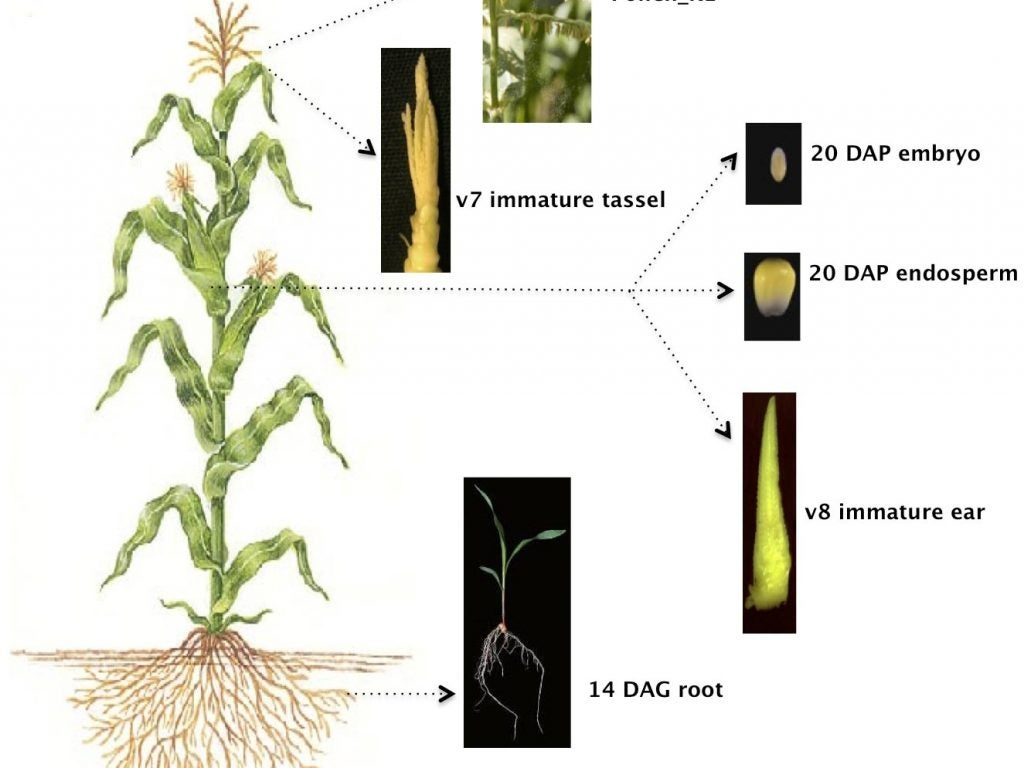 six maize tissues