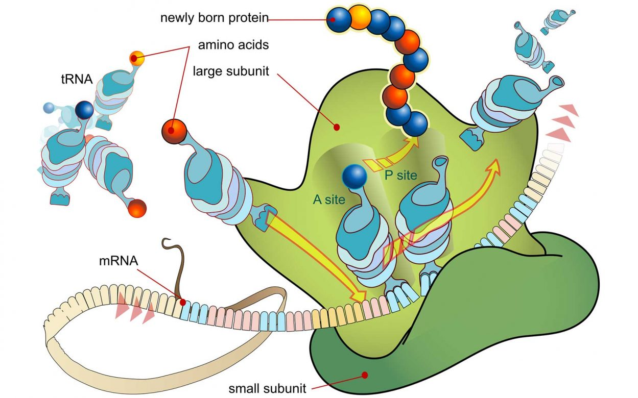 Ribosome mRNA translation