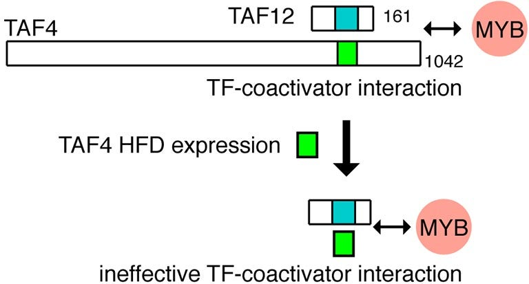 TF coactivator interaction