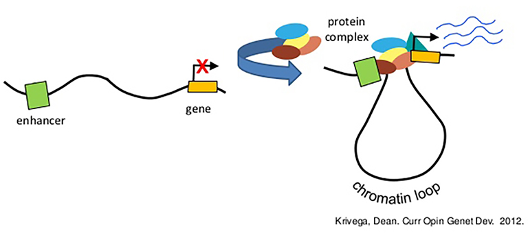 chromatin looping gene expression