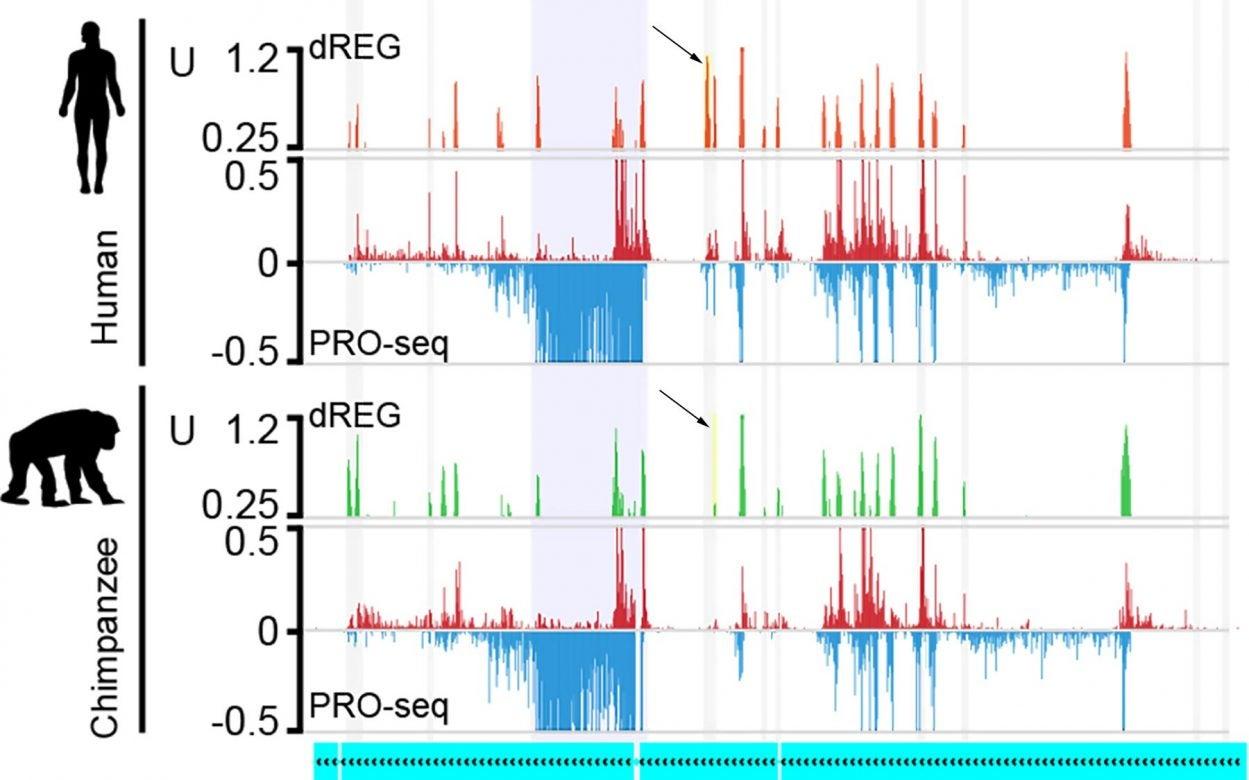 human-primate genome