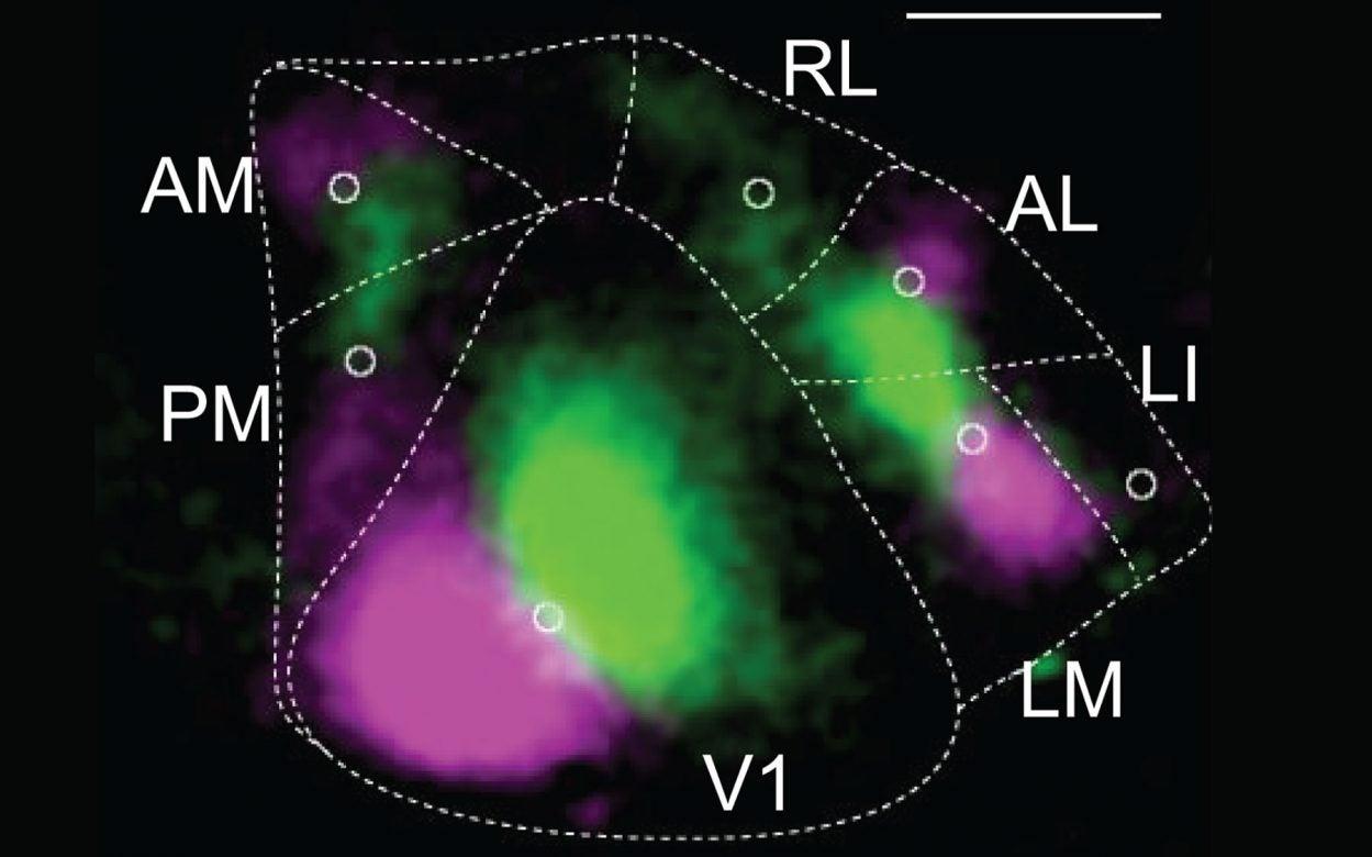 mouse primary visual cortex