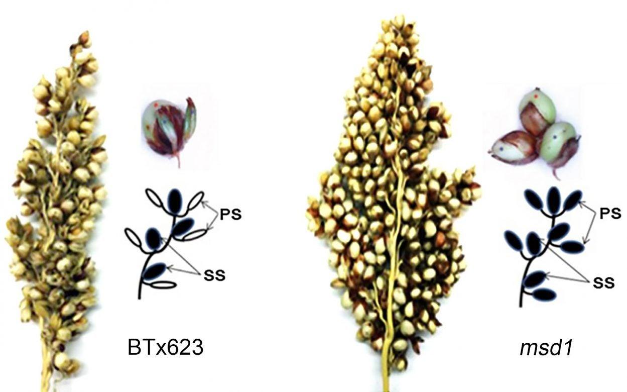 sorghums grains