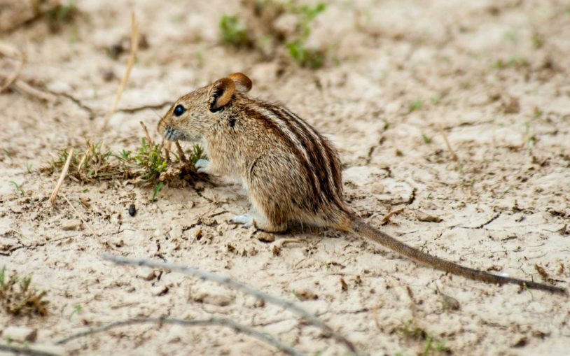 How the mouse got its stripes
