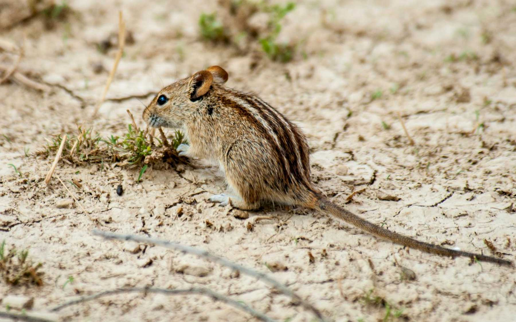 African striped mouse