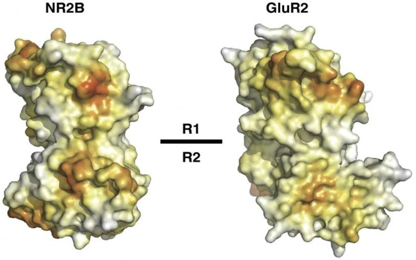 CSHL team solves molecular structure of NMDA receptor subunit that could be target for drugs against neurological diseases