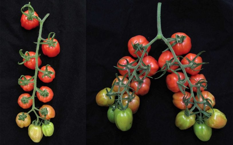 One experiment: Twice the tomatoes