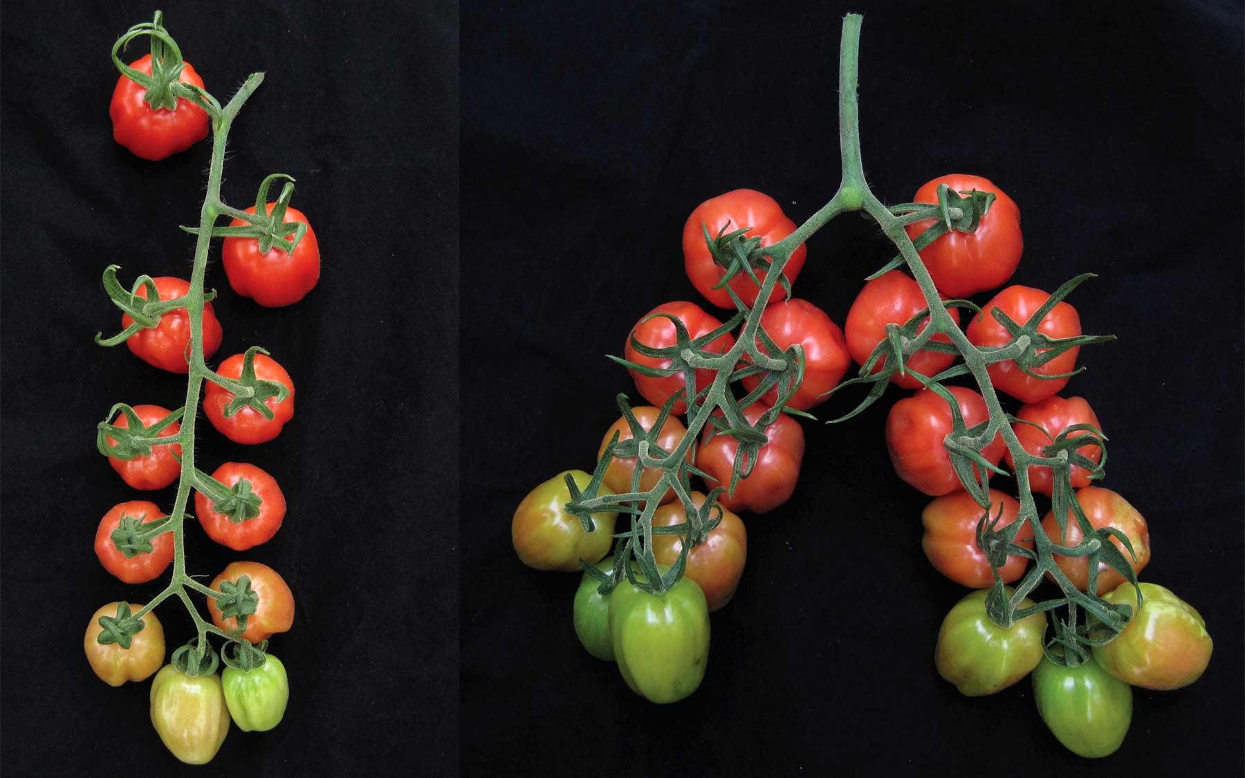 tomato comparison