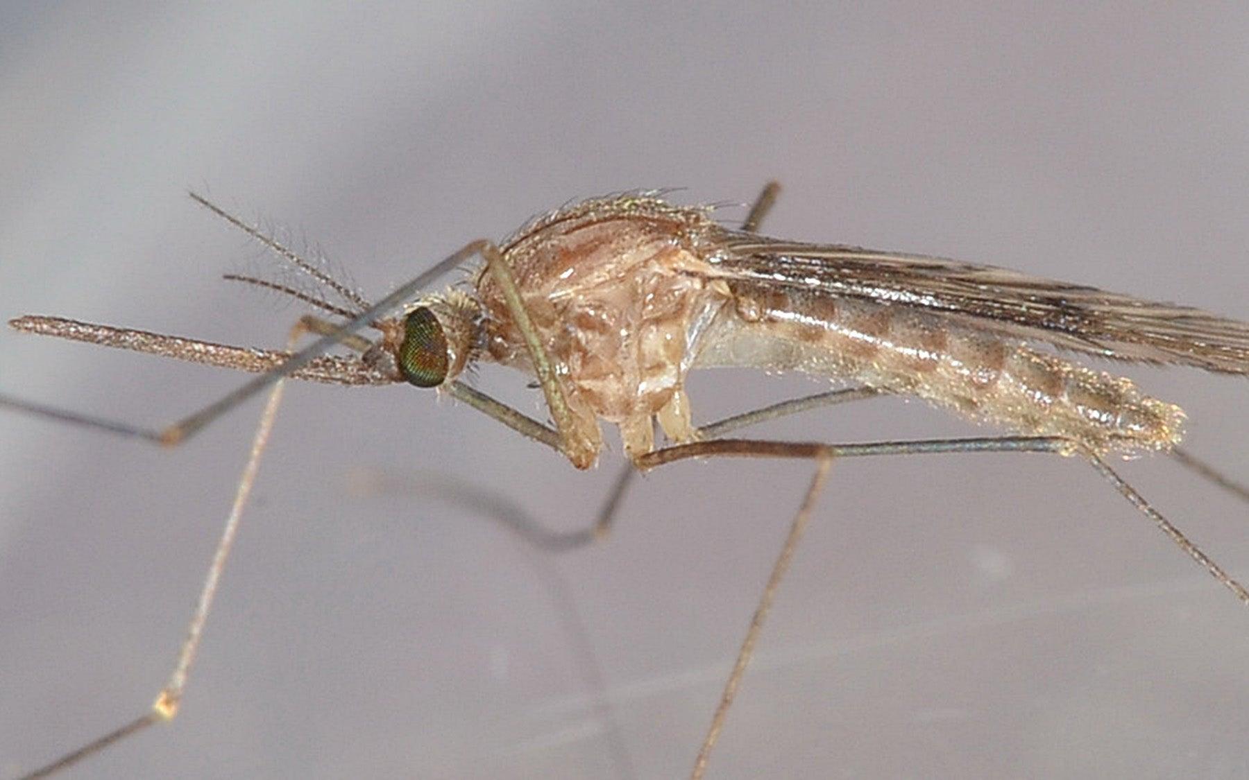 Anopheles freeborni mosquito