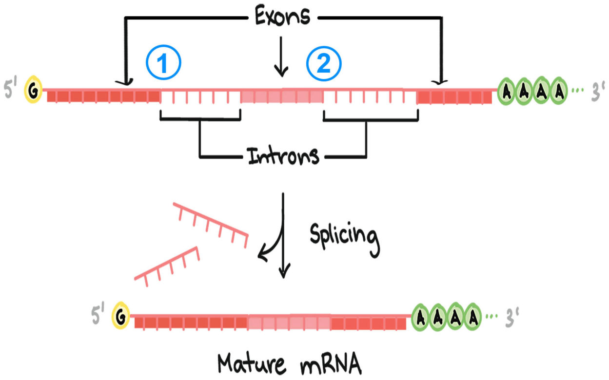 exons introns splicing