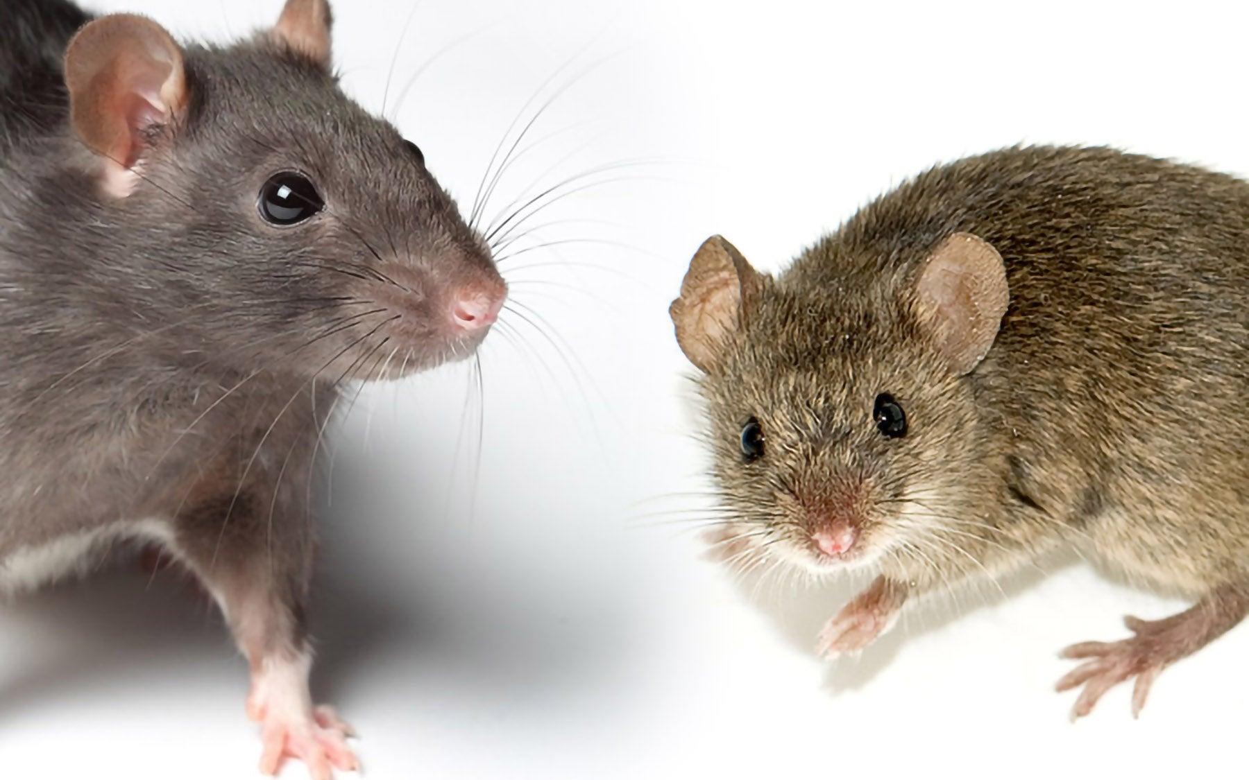 Rat Mouse comparison