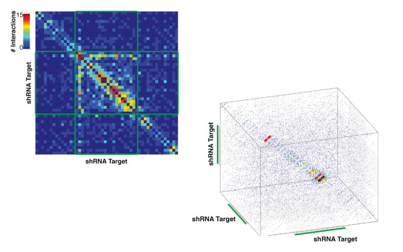 shRNA target