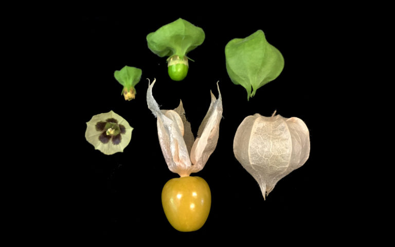 Zachary Lippman Groundcherries
