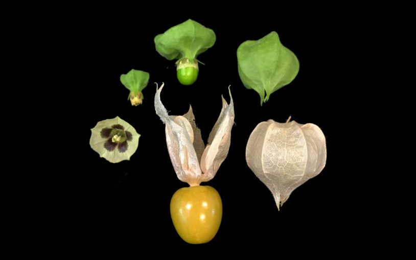 CRISPR could bring groundcherries to market