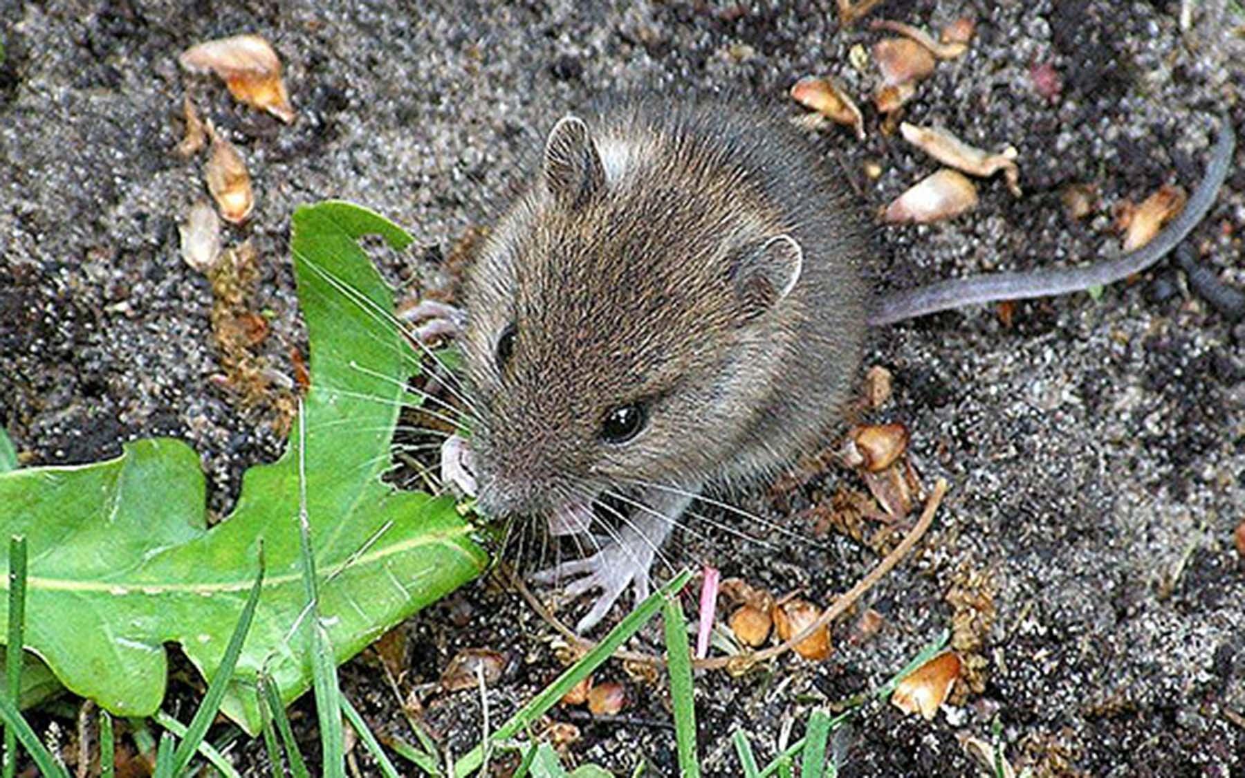 Mouse eating leaf