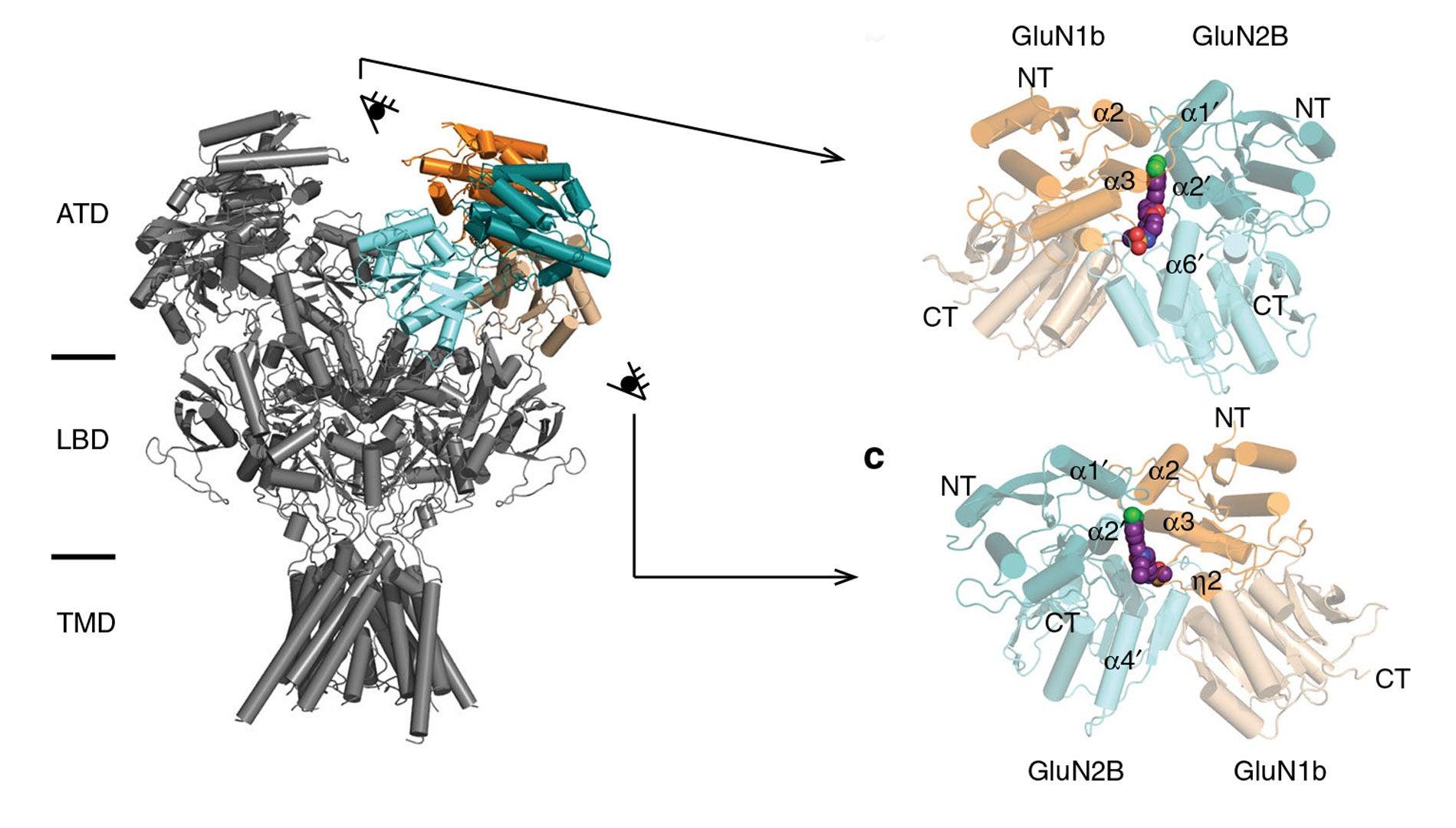 Hiro NMDA receptor