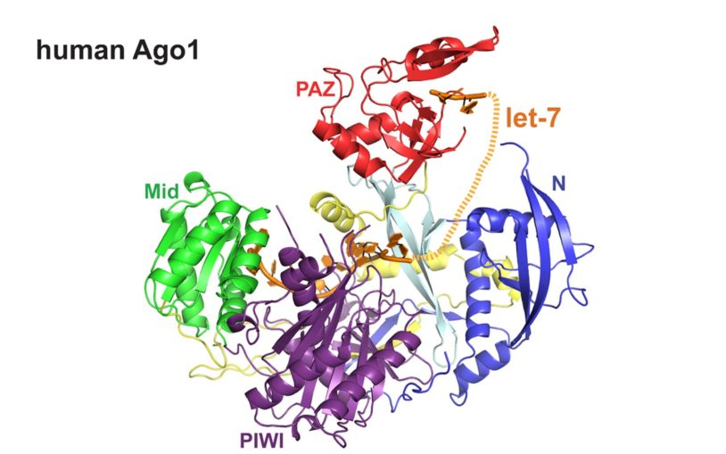 Human Argonaute proteins: To slice or not to slice?